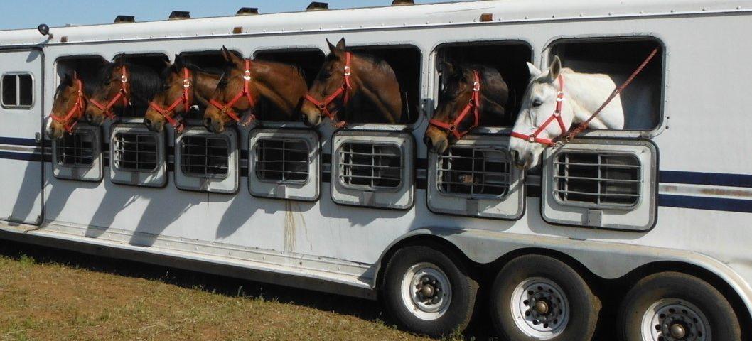 Resultado de imagem para transporte de cavalos