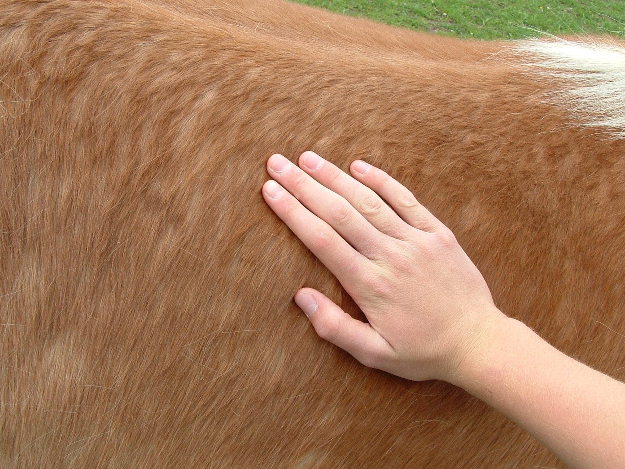 Massagem em cavalos - Saiba mais sobre esta técnica relaxante!